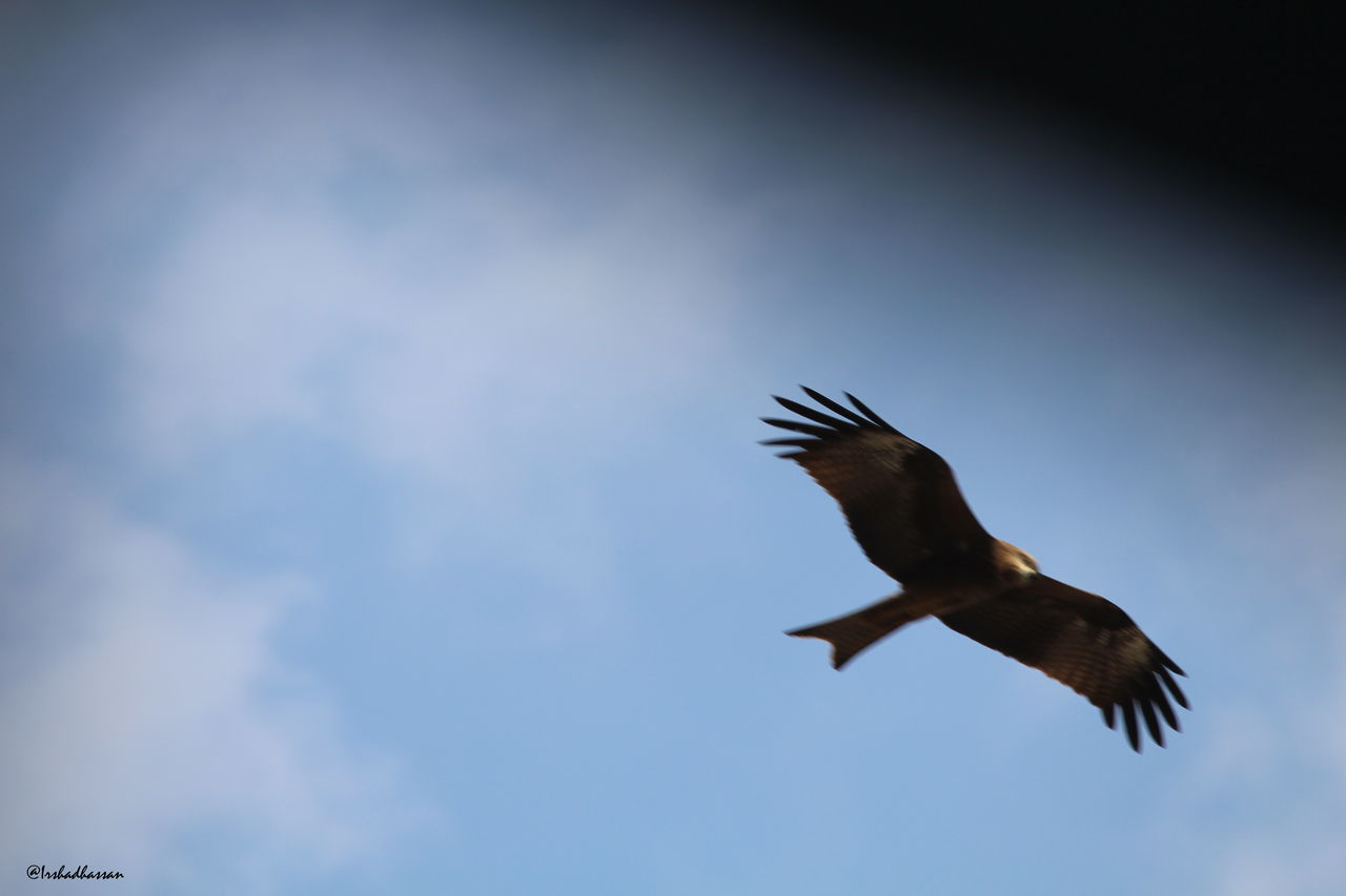 flying, bird, spread wings, nature, animal themes, animals in the wild, sky, no people, outdoors, day