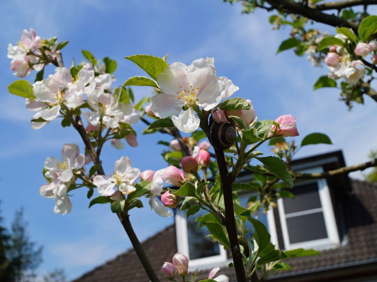 Flower Fragility Growth Beauty In Nature Nature Petal Freshness Blossom Blooming Tree Branch Apple Blossom Springtime No People Flower Head Day Outdoors Pink Color Close-up Sky Snail
