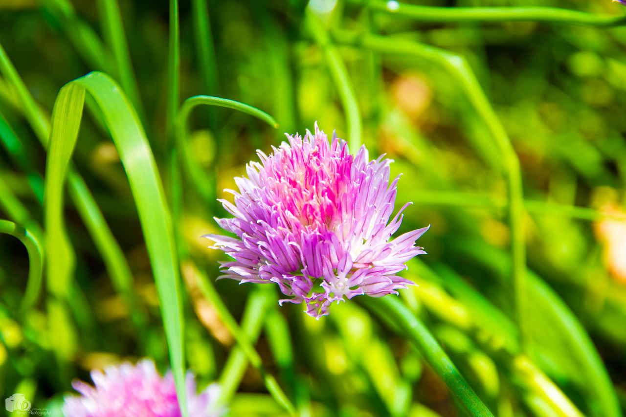 Beauty In Nature Blooming Chive Chiveflower Close-up Day Field Flower Flower Head Focus On Foreground Fragility Freshness Green Color Growth Nature No People Outdoors Petal Pink Color Plant Purple