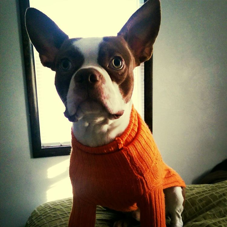 Hand Me Downs I Love My Boston Terrier Dog How Do I Look?