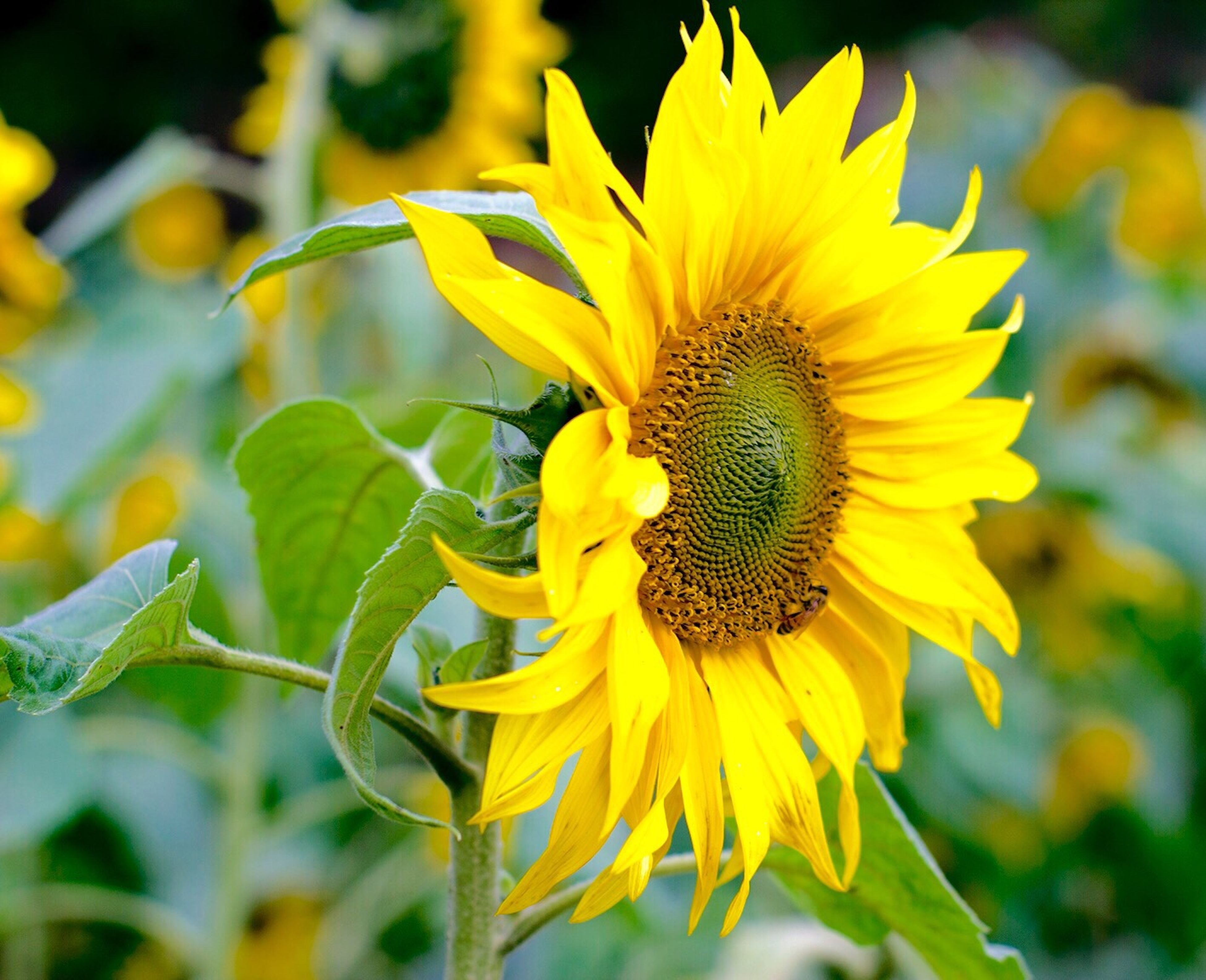 flower, yellow, freshness, petal, flower head, fragility, growth, sunflower, focus on foreground, close-up, beauty in nature, plant, blooming, nature, pollen, single flower, insect, in bloom, outdoors, no people