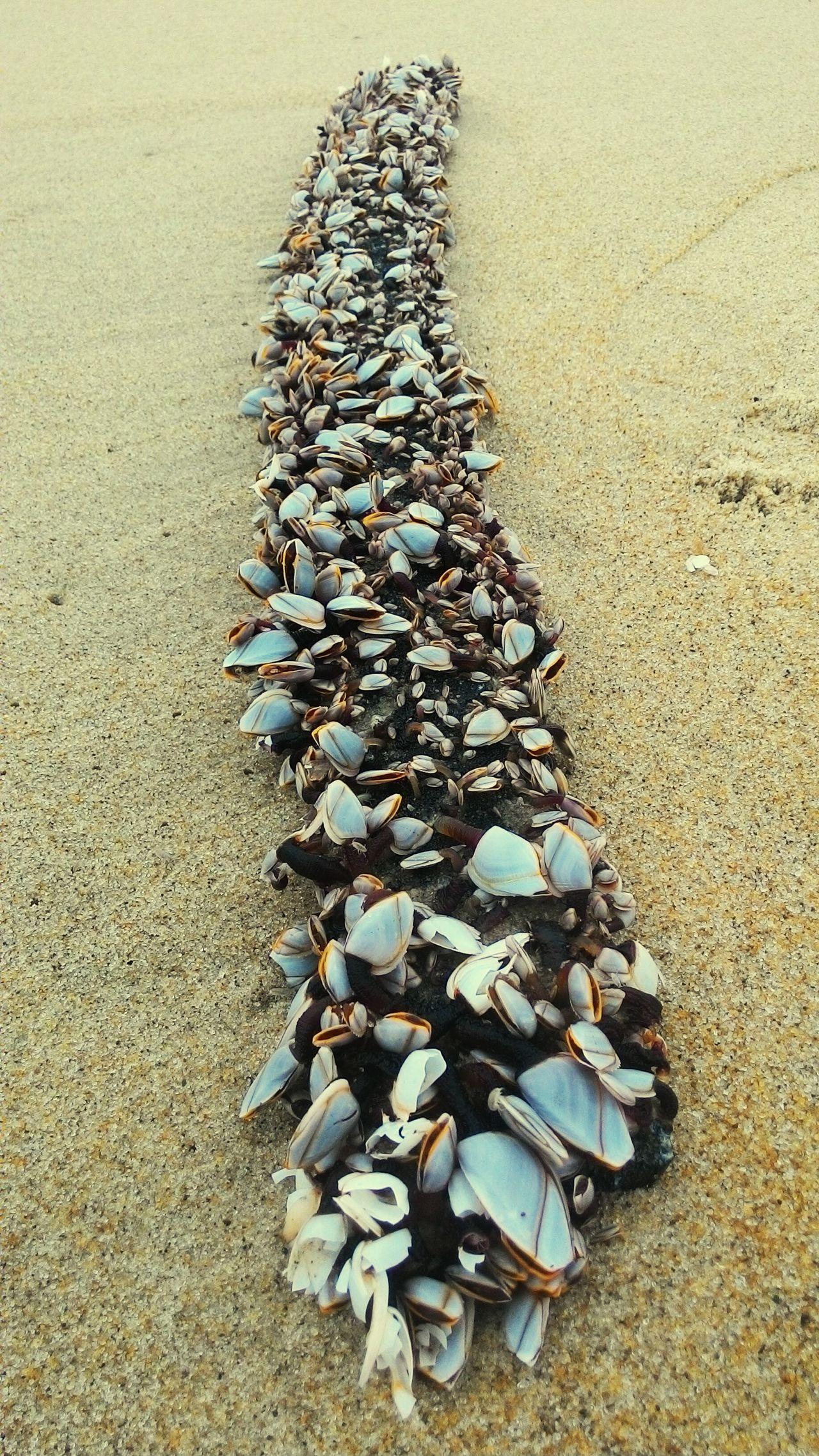 Conchas em praia grande