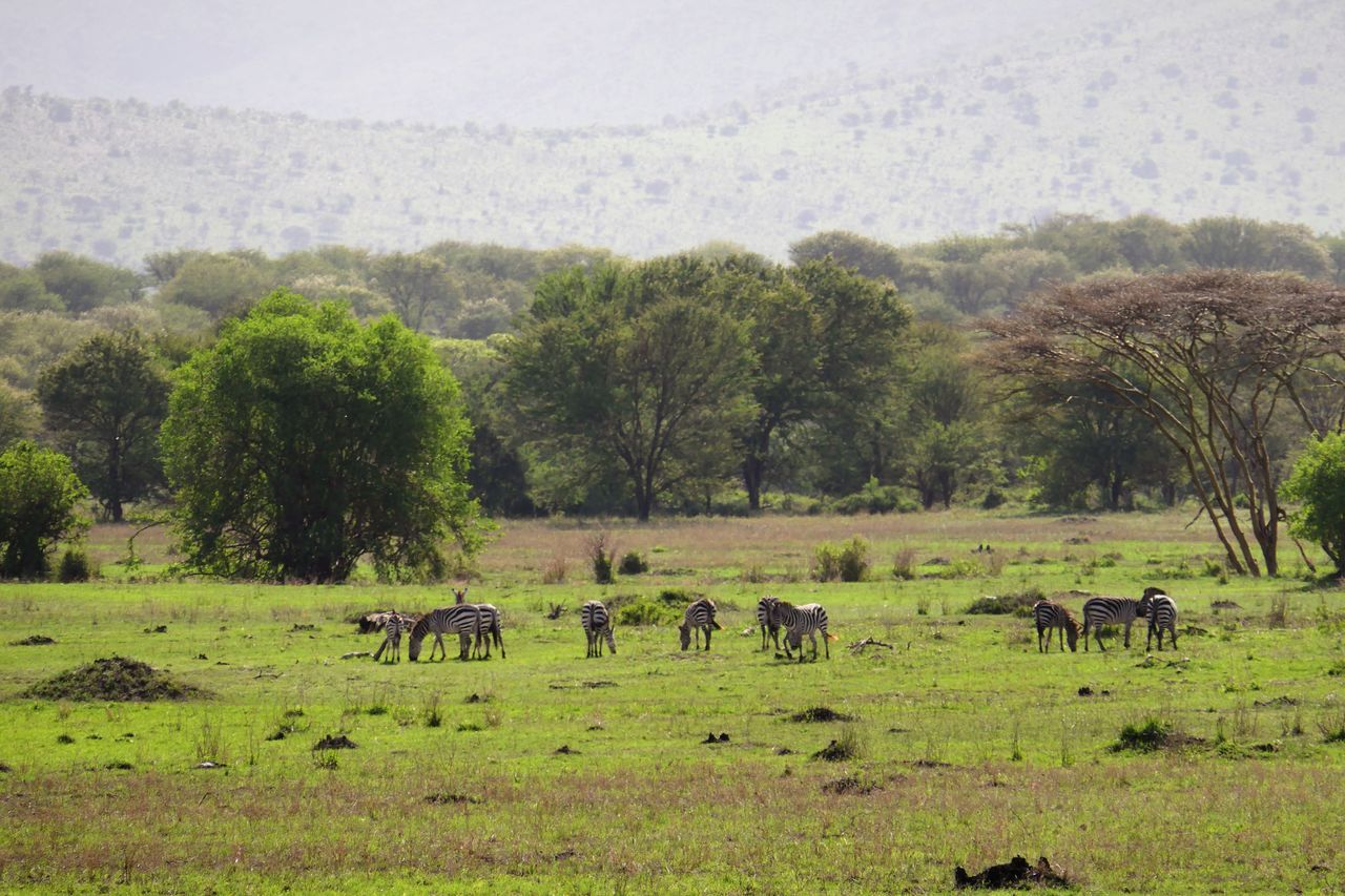 Serengeti Animal Themes Animal Wildlife Animals In The Wild Beauty In Nature Day Field Grass Growth Landscape Large Group Of Animals Mammal Nature No People Outdoors Serengeti National Park Sky Tree