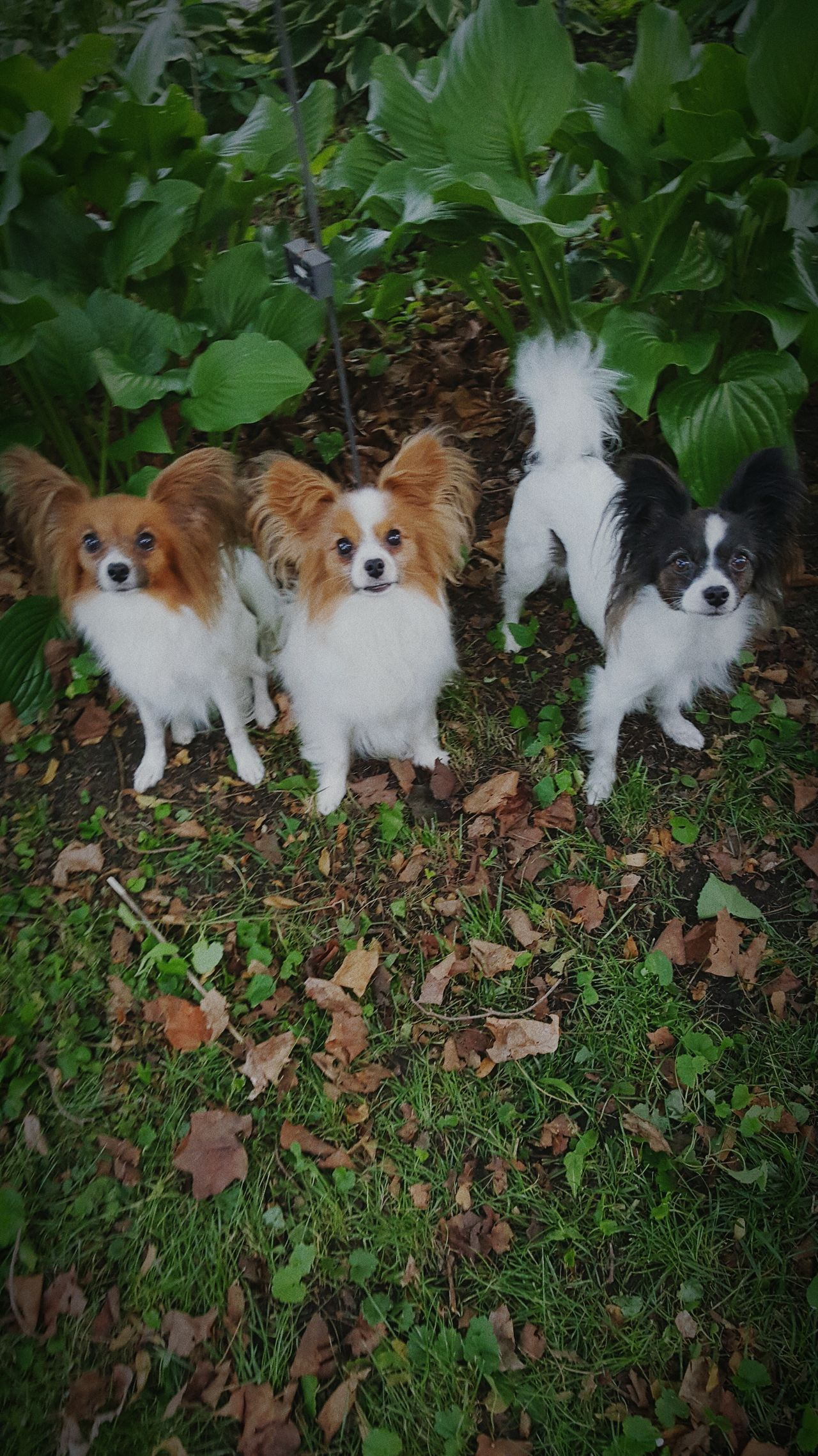 Ilovemydog Papillion, Dog, Cute, Precious, Furry Dogslife Beautiful Day Its A Dogs Life Dogstagram Bestfriends Mansbestfriend