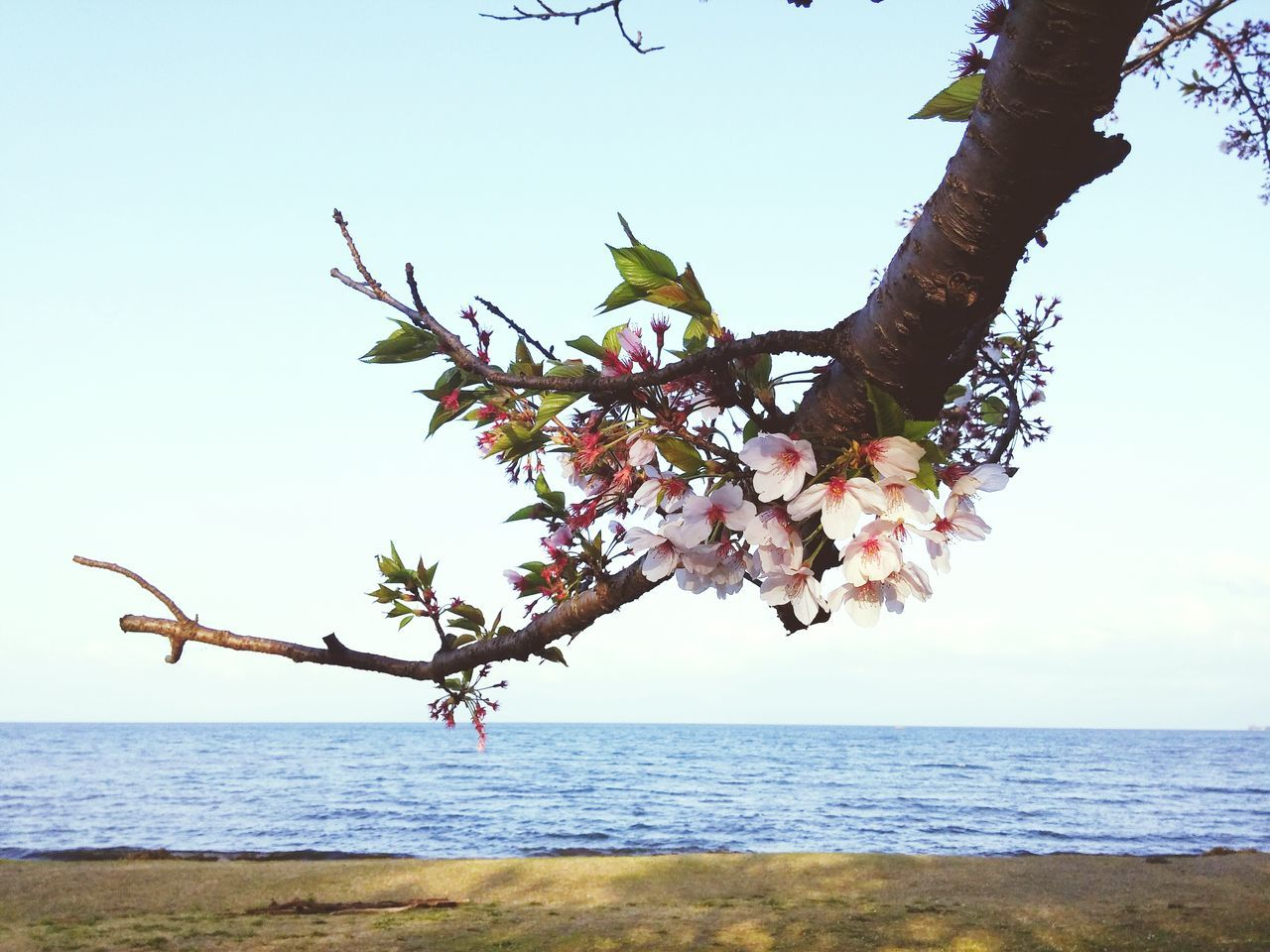 sea, horizon over water, nature, beauty in nature, water, tree, scenics, tranquility, sky, day, outdoors, clear sky, tranquil scene, branch, flower, no people, growth, beach, freshness
