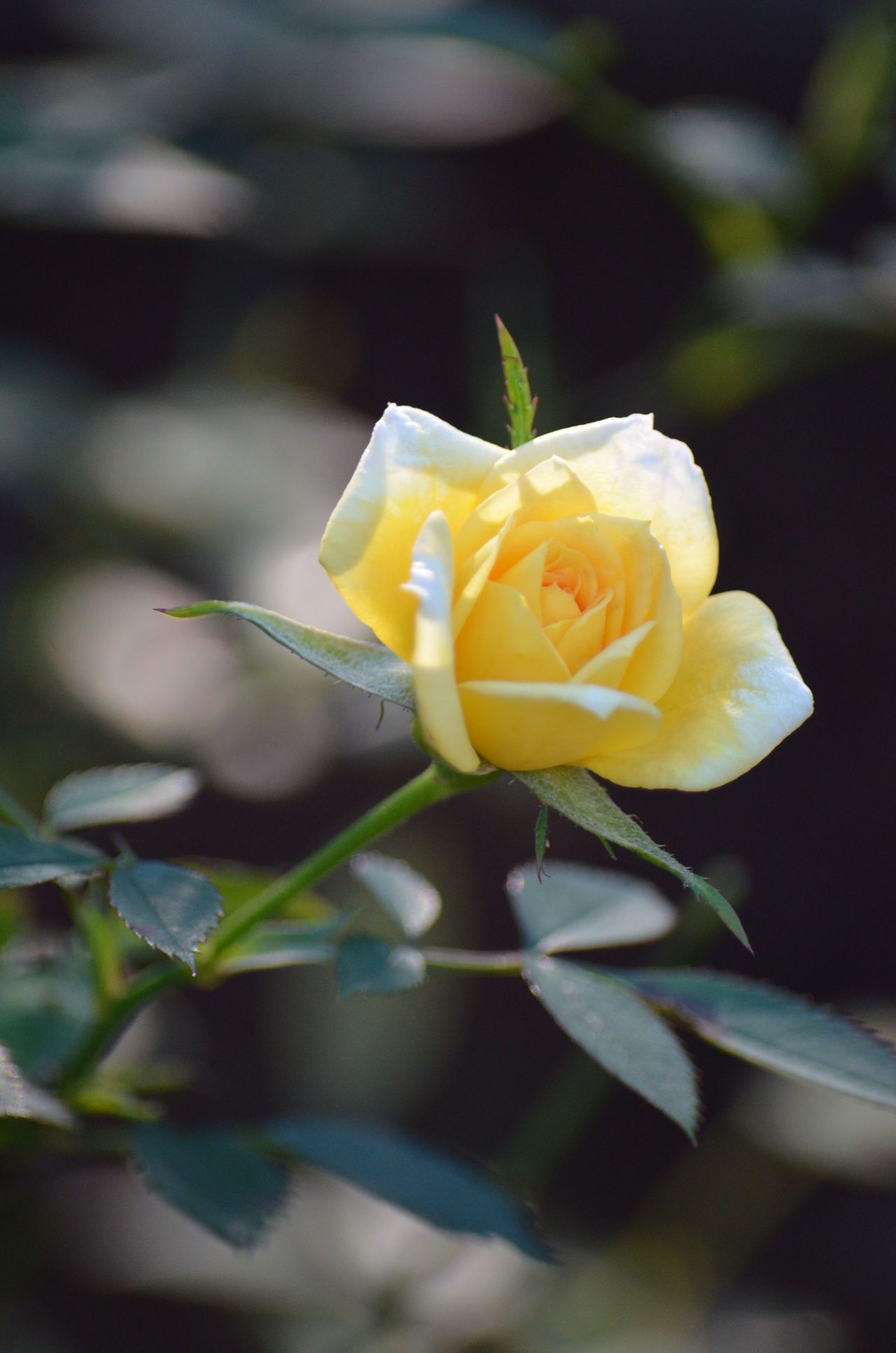 Beauty In Nature Blooming Close-up Day Flower Flower Head Fragility Freshness Growth Nature No People Outdoors Petal Plant Rose - Flower Rose🌹 Yellow Yellow Flower Yellow Rose