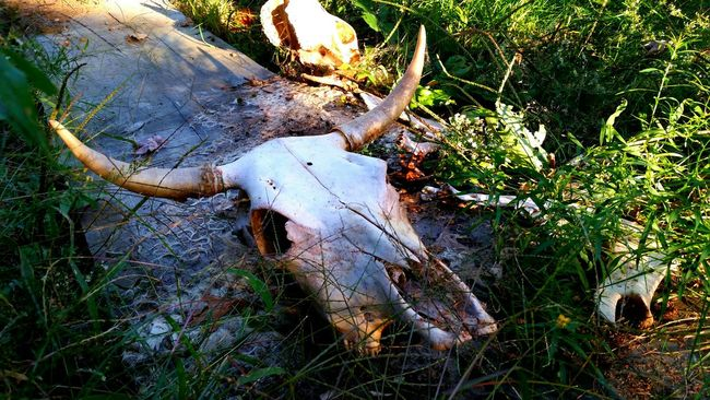 Skull Cow Skull Mainelife Maine Cellphone Photography