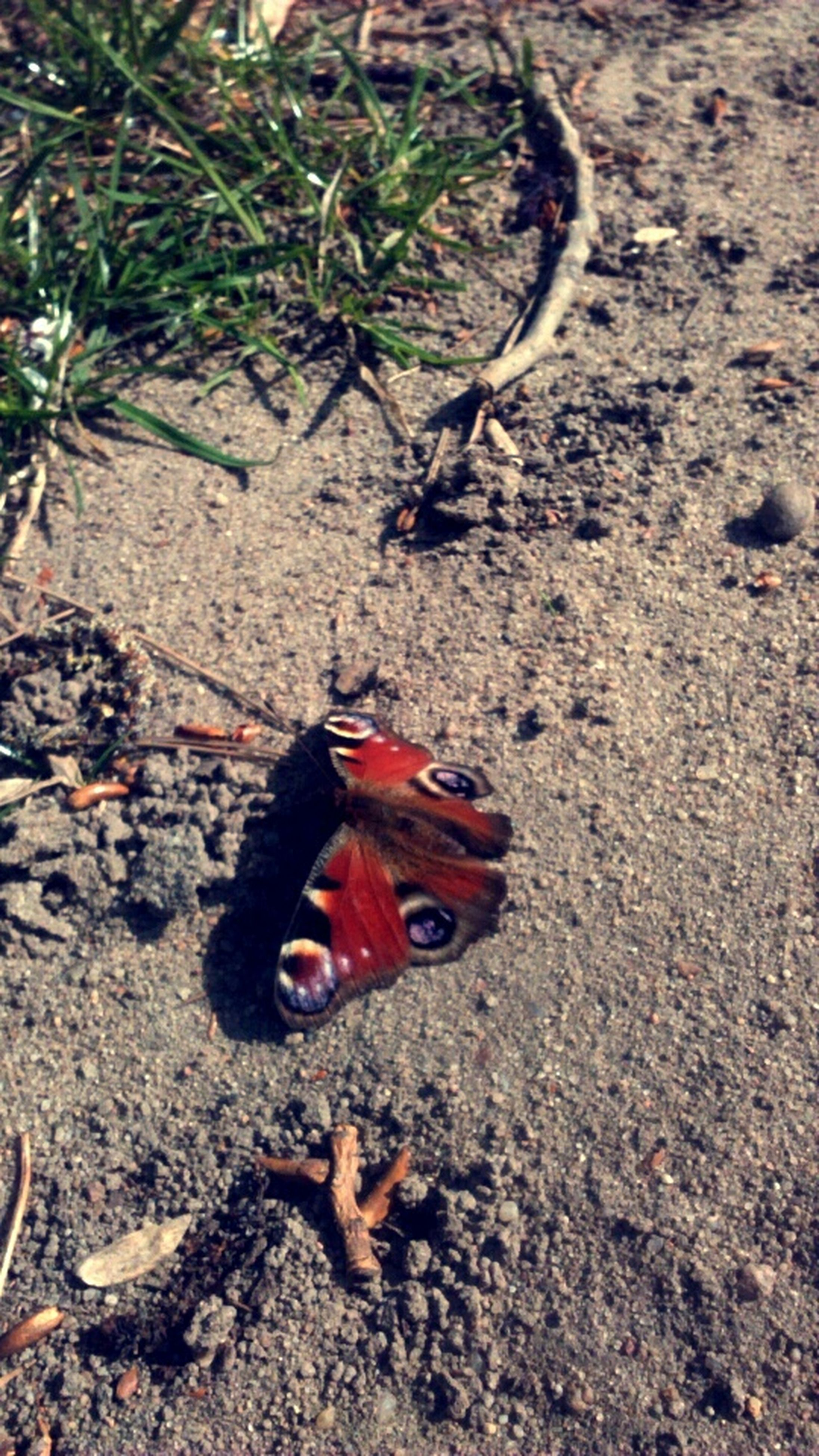 high angle view, red, ground, sand, close-up, abandoned, outdoors, street, day, sunlight, no people, dirt, field, nature, one animal, single object, animal themes, dead animal, still life, leaf
