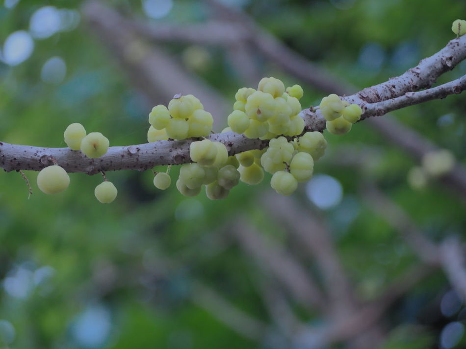 Beauty In Nature Close-up Day Freshness Growth Nature No People Outdoors Plant Star Gooseberry Tree