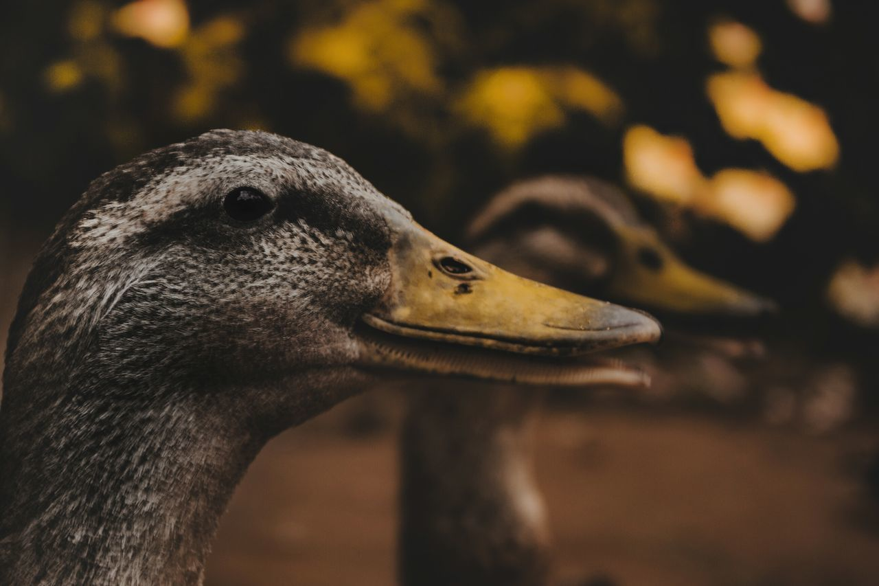 Beautiful stock photos of fall,  Animal Wildlife,  Animals In The Wild,  Beak,  Beauty In Nature