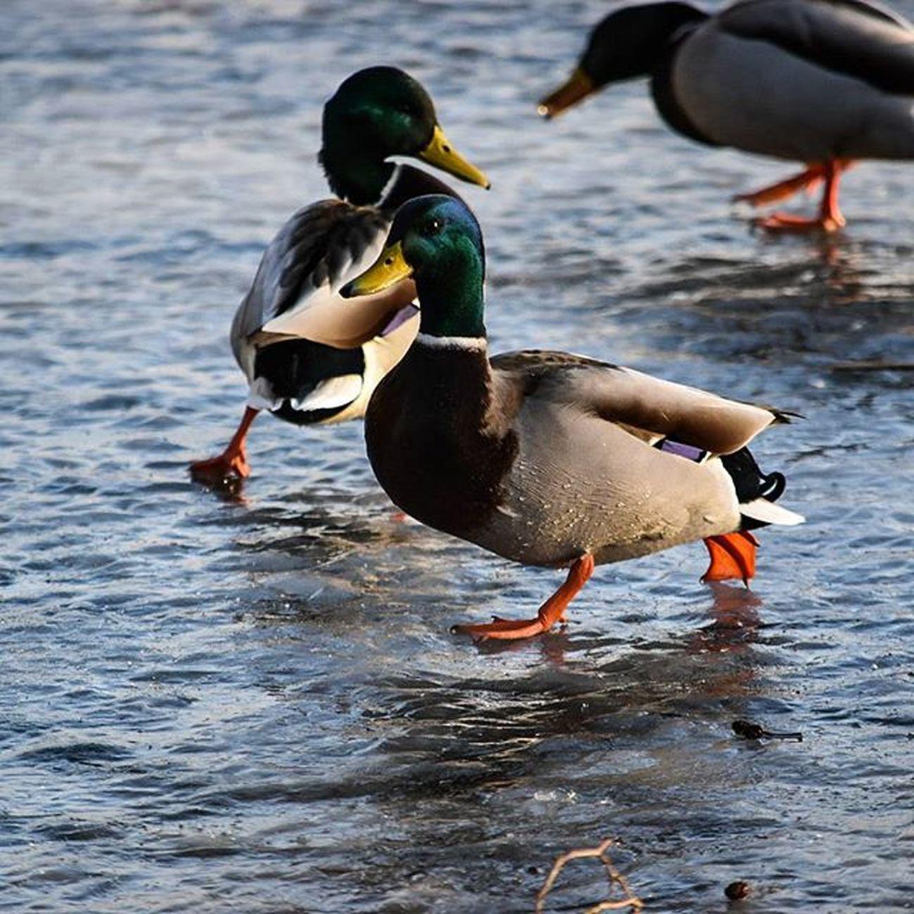 Ducks on ice Tanzen , Dance , Dancing , Ente , Eis , Slide