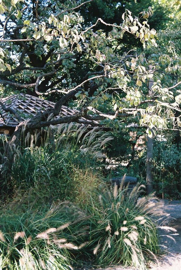 Japan Tokyo 向島百花園 Botanical Gardens Filmcamera 35mm Film Film Photography Film Trees Shade Of Tree Shadows Japanese House Shadow Plant Japanese Pampas Grass Autumn