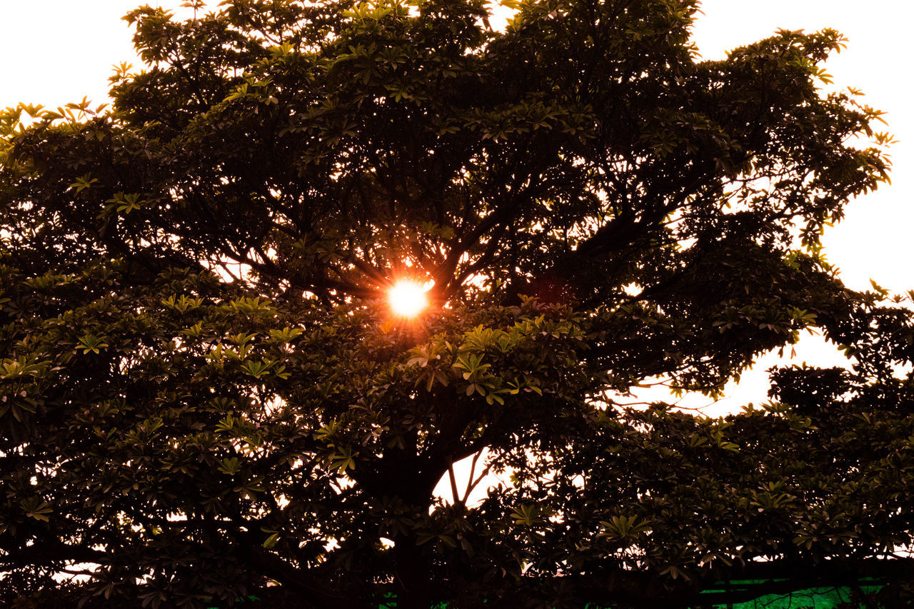 tree, sun, lens flare, nature, sunlight, outdoors, tranquility, growth, no people, beauty in nature, day, sky