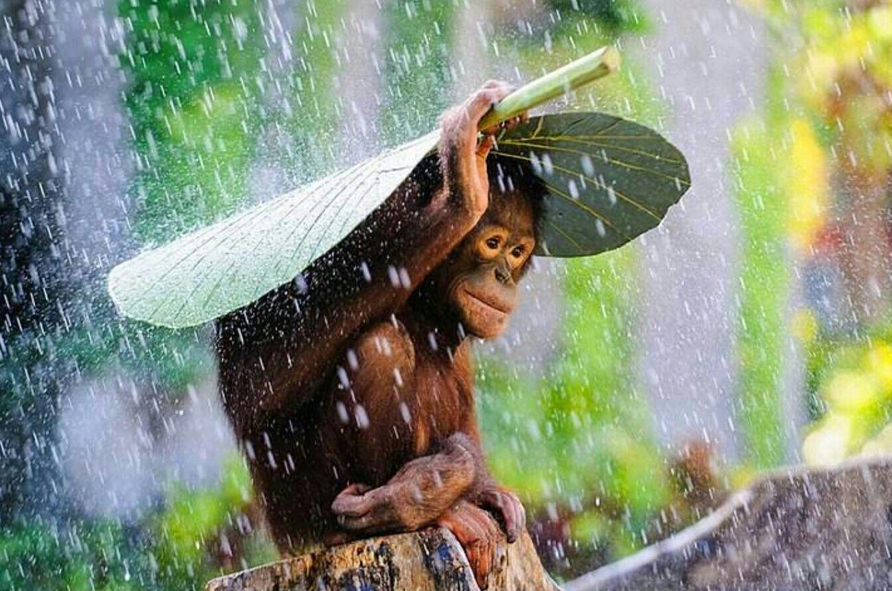 Primat Maymun Yağmur Semsiye Tatlilik