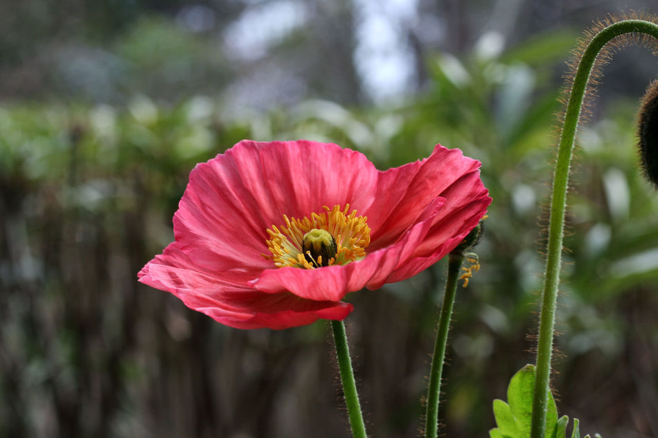 Beauty In Nature Blooming Close-up Day Flower Flower Head Focus Focus On Foreground Fragility Freshness Growth Insect Nature No People One Animal Outdoors Petal Plant Pollen Pollination Poppi Poppies  Poppy Flowers Red Flower Text