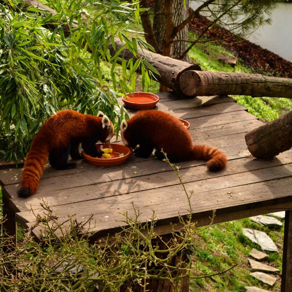 Red panda ! They are so adorable !🌸 Redpanda Animal Themes Tree Sunlight Mammal Nature No People Day Pets Beauty In Nature Asian  Pandaroux Pairi Daiza Be Pairi Daiza Zoo Zoophotography
