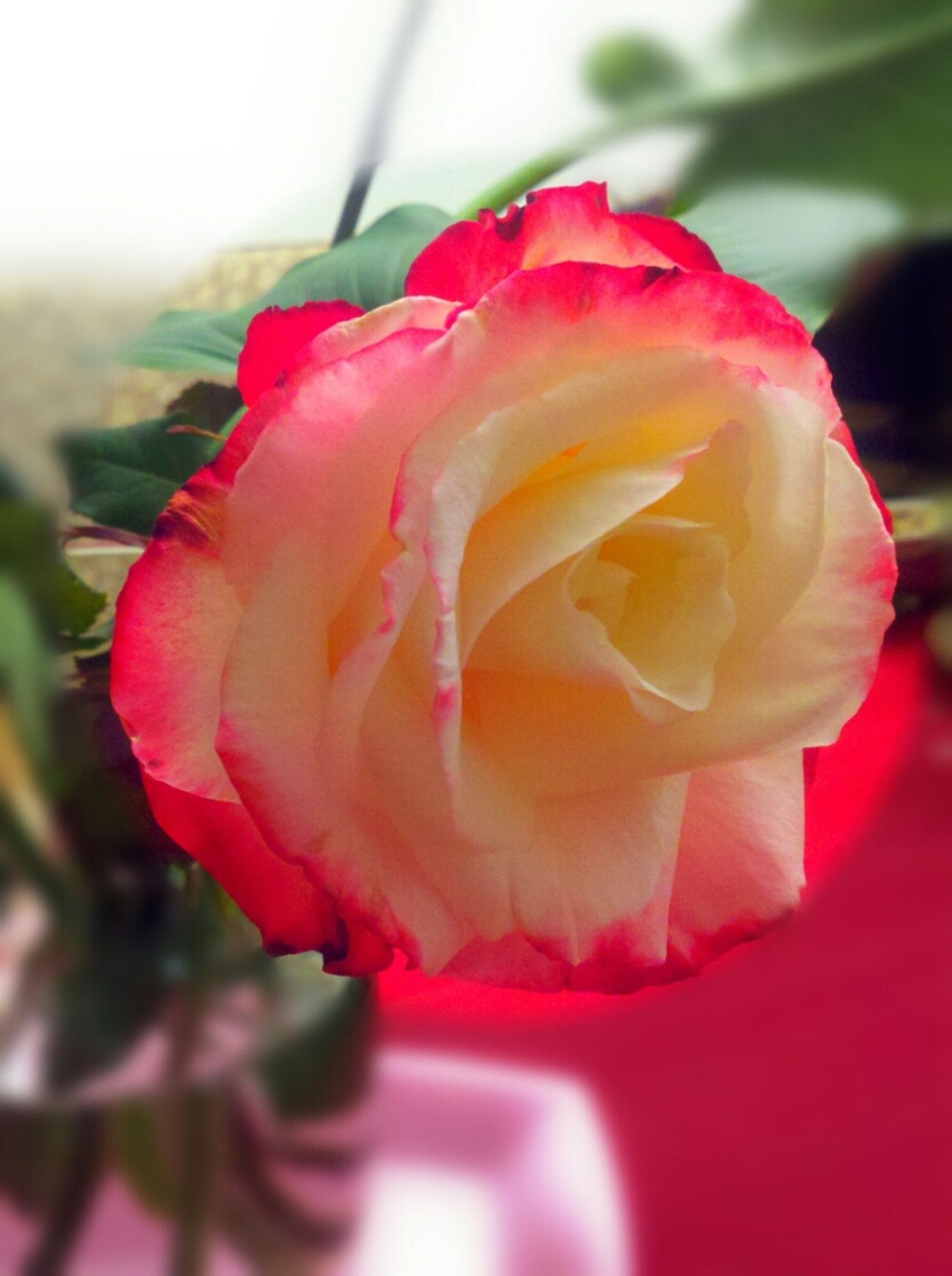 rose from my grandmas garden Flower Porn Flower Collection
