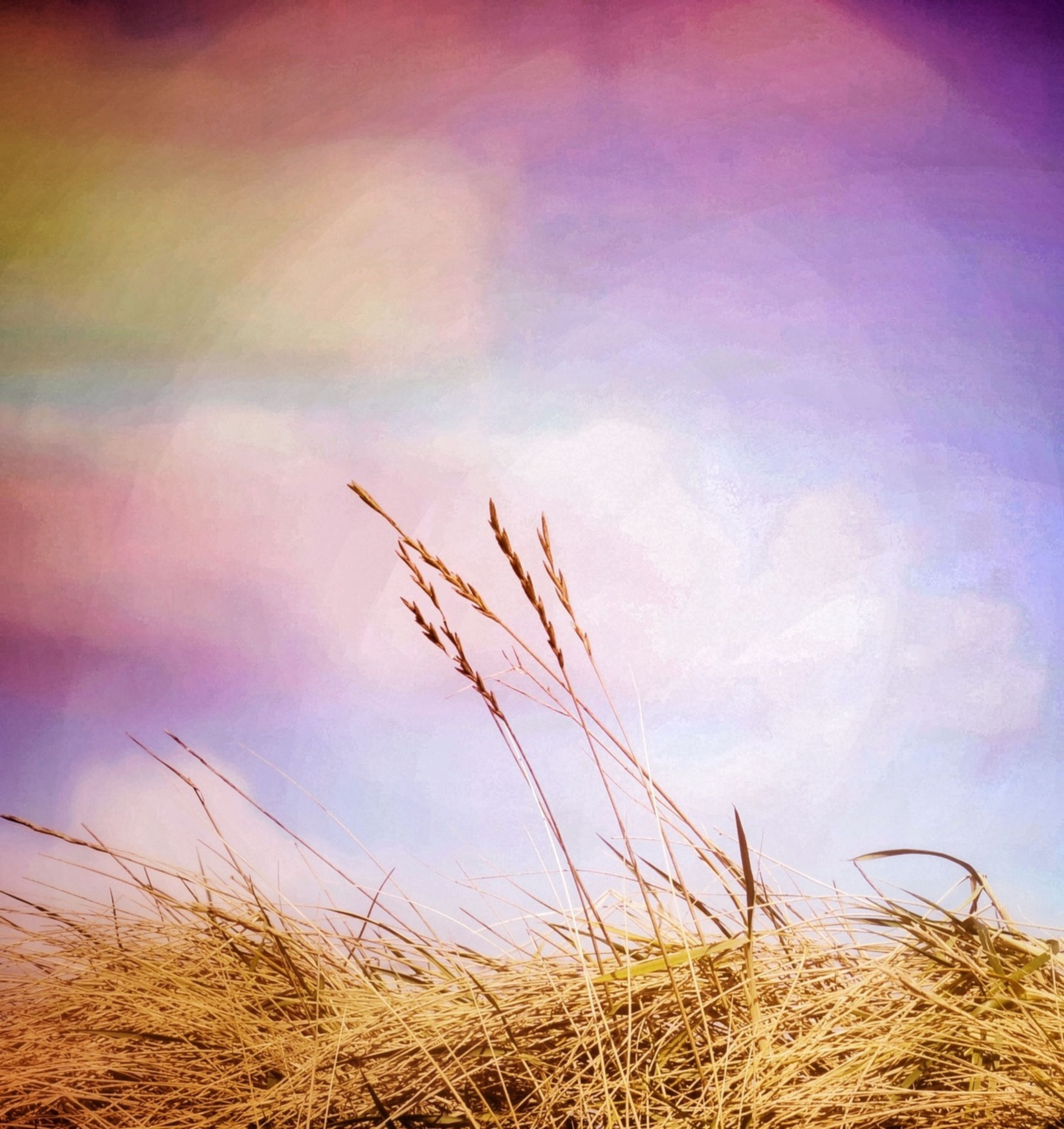 field, grass, sky, plant, growth, nature, rural scene, tranquility, cereal plant, agriculture, crop, tranquil scene, landscape, beauty in nature, stalk, dry, wheat, farm, reed - grass family, scenics