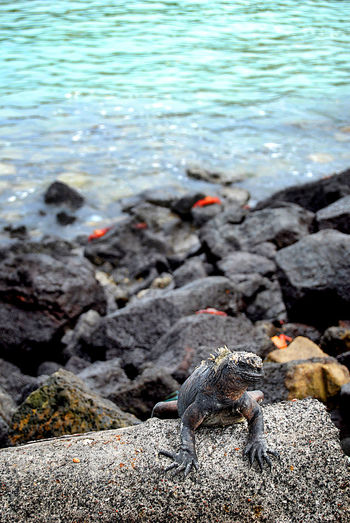 Water Nature No People Day Sea Beauty In Nature Animal Themes Lava Textured  EyeEmNewHere Iguana Galapagos Galapagos Islands