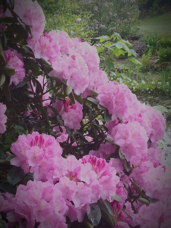 Walking Around EyeEm Flower Eye Em Nature Lover Flower Collection Schloss Dennenlohe Pink Flower Pinkflower Rododendronpark