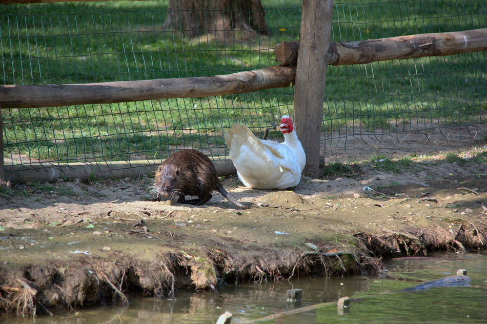 Parco Centenario Adult Animal Animal Wildlife Animals In The Wild Bird Cohabitation Day Duck EyeEm Gallery EyeEm Nature Lover Lake Mammal Nutria Nutria, Mocastor Coypus, Coypu One Animal One Person Outdoors Parco Centenario People Tree