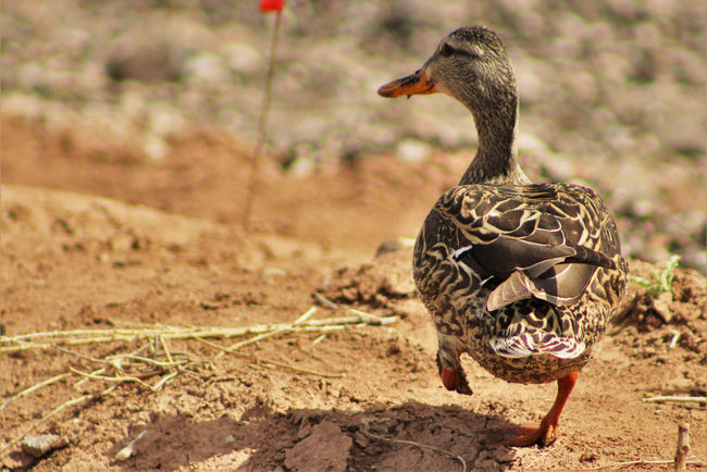 Animal Beak Bird Brown Copy Space Dabbling Duck Dirt Duck Female Gadwall Marching Mid-stride Mud Muddy Nature No People On Land One Foot On The Ground Outdoors River's Edge Waddling Walking Waterfowl Wildlife Happy