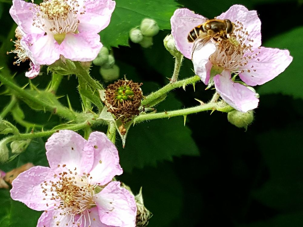Blackberry Flowers Blackberry Flower Blackberry Blossoms Dewberry Flower Beauty In Nature Nature Macro Wild Bloom Wild Blossom Close Up Showcase August Bee On Flower Bee Insect