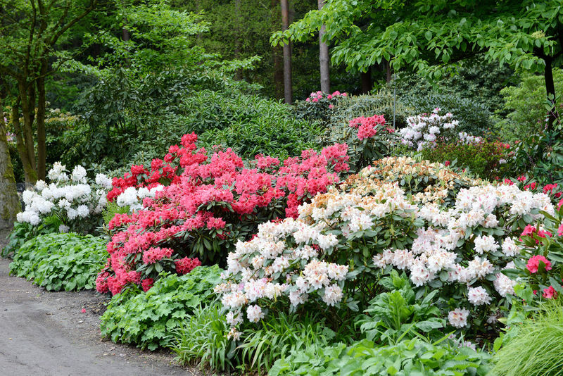 pink Rhododendron bush bloom in springtime. path leading through park. Day Flower Footpath Garden Green Nature No People Outdoors Park Park - Man Made Space Path Pink Plant Red Rhododendron Rhododendron Rhododendron Blossoms Rhododendronblossoms Rhododendroninbloom Rhododendrons Tree