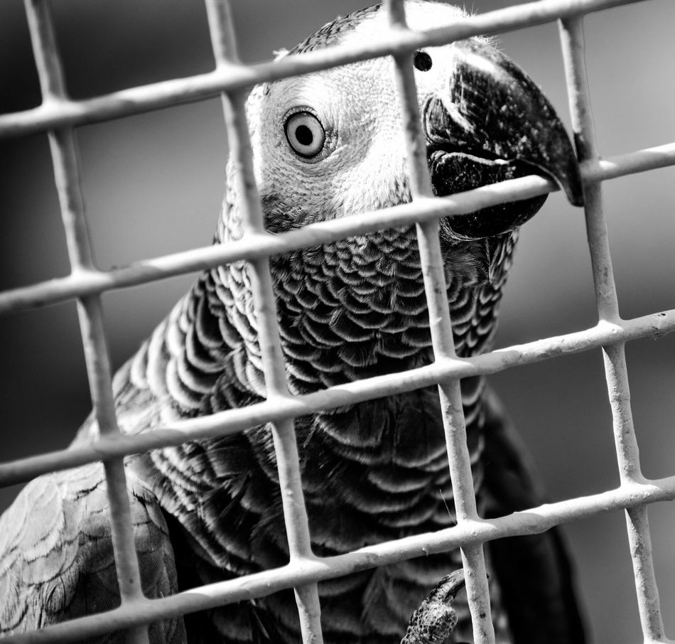 The same pervious parrot but with B&W Hanging Out Taking Photos Check This Out Enjoying Life Birds Learn & Shoot: Leading Lines تصويري  Photography Hanging Out Eyes الرياض تصويري_نيكون السودان Parrot Taking Photos Blackandwhite Photography