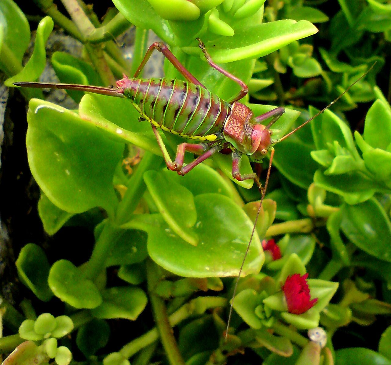 Great Green Bush-Cricket Great Green Bush Cricket Crickets Bush Crickets Close Up Photography Insects Collection Insects  Insects Of Eyeem