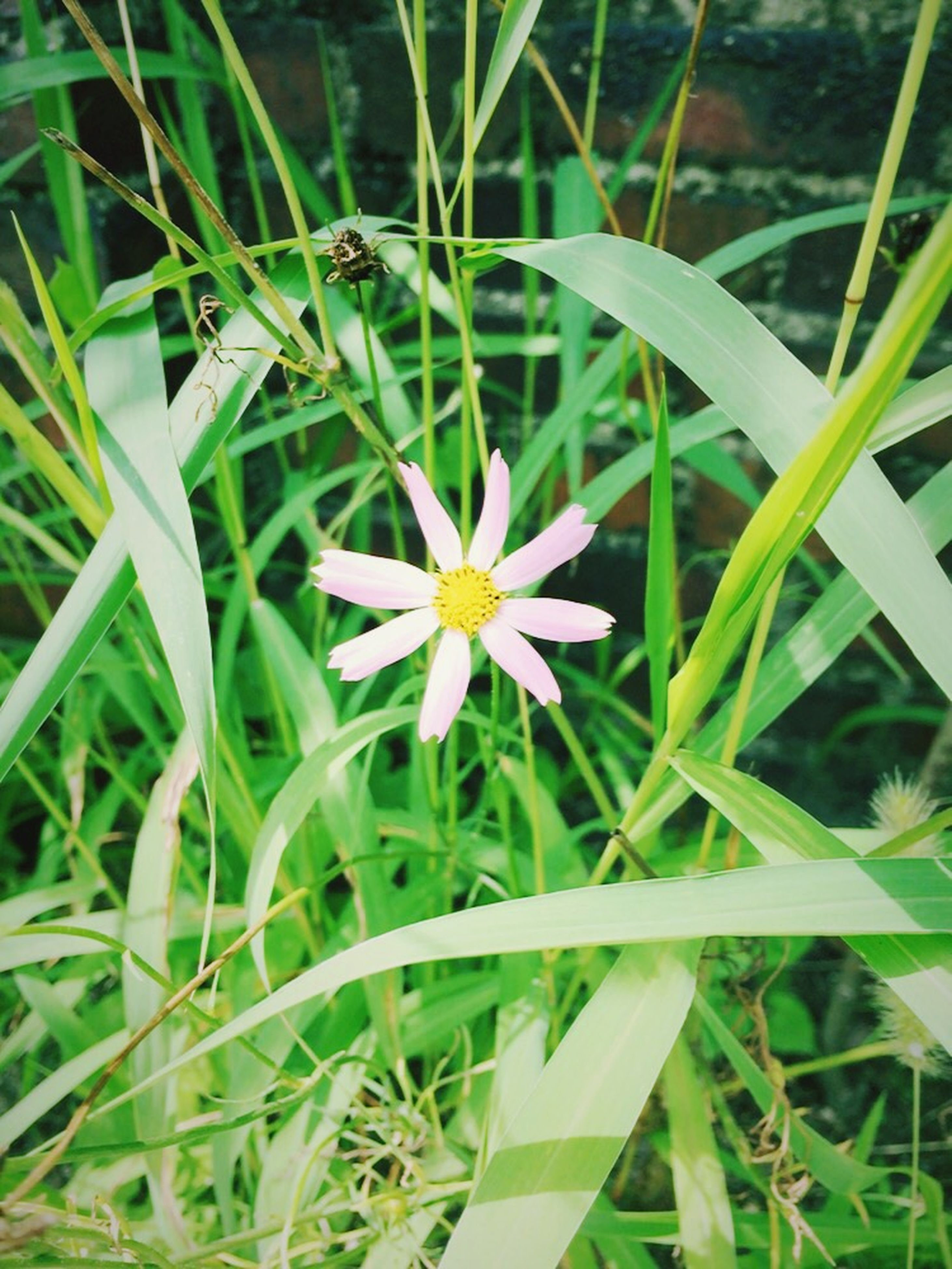 flower, freshness, growth, petal, fragility, flower head, plant, beauty in nature, blooming, green color, nature, leaf, field, high angle view, grass, white color, close-up, in bloom, day, focus on foreground