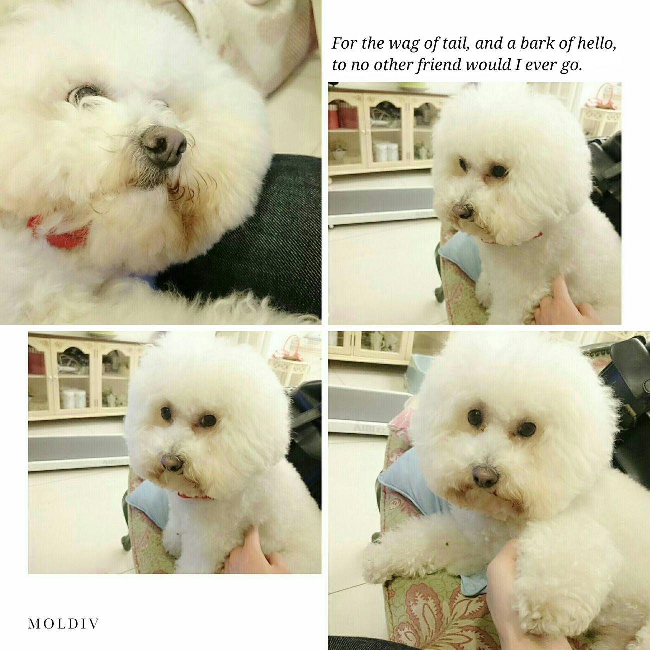 Lisa is waiting to go shopping with Mom? 比熊 比熊犬 寵物 Bichon Bichonfrise Puppy Dog Pet ビションフリーゼ Fluffy