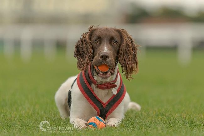Bonnie the English springer. Wolfe Does UK Pet Photography  Dog English Springer Spaniel
