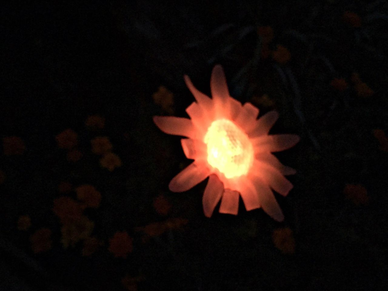 Solar Light Flower Petal Flower Head Close-up Freshness Fragility Single Flower Red Nature Dark Growth Blooming Beauty In Nature Fine Art Black Background Night Lights Springtime Night Blossom Overnight Success Glowing Glow Glowinthedark Garden
