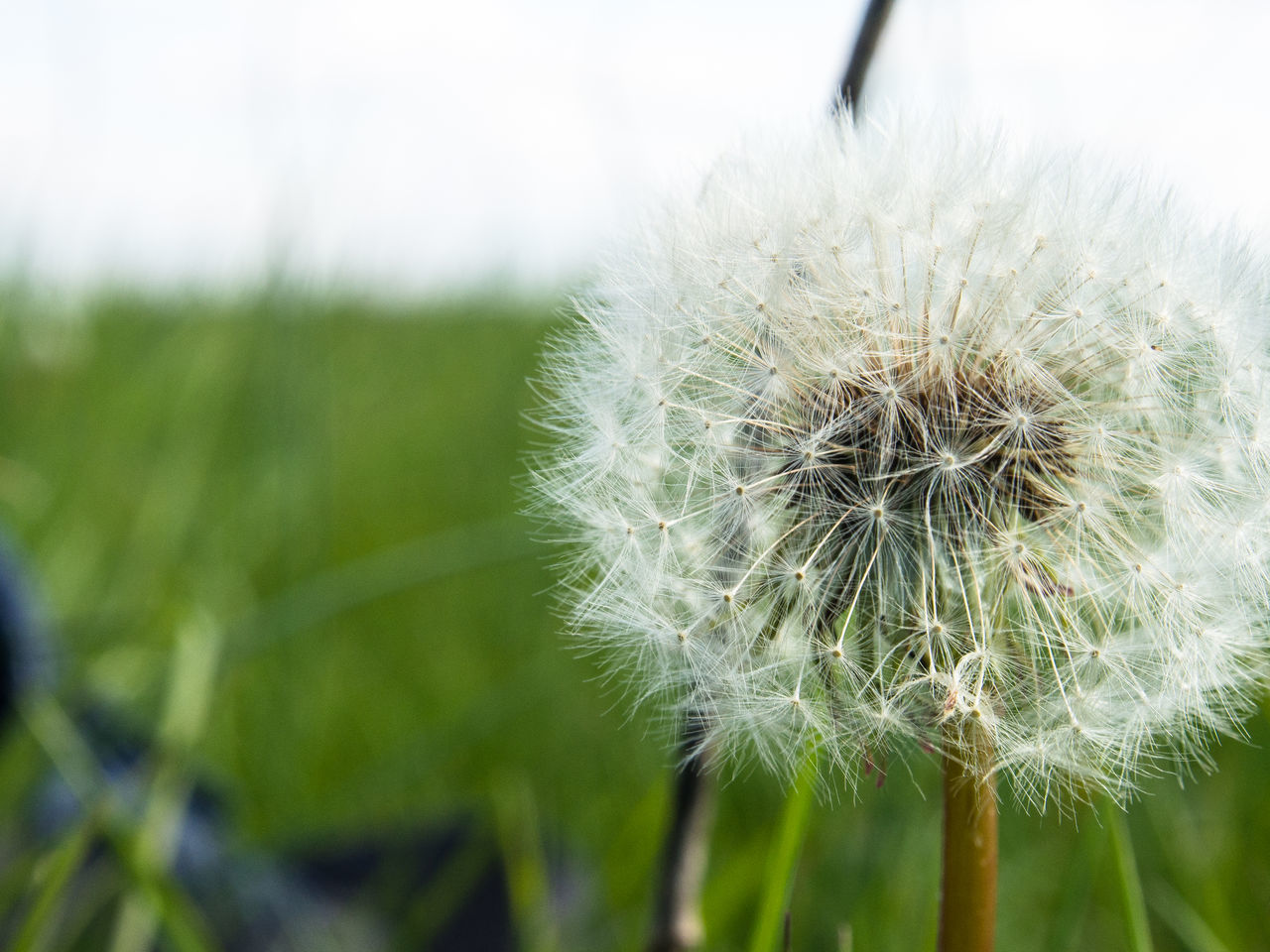 growth, nature, flower, dandelion, fragility, focus on foreground, close-up, plant, beauty in nature, day, freshness, no people, outdoors, green color, flower head
