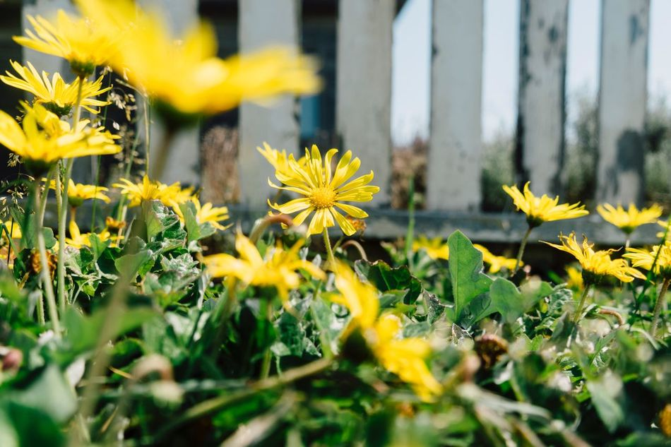 Secret Garden Flower Yellow Nature Plant Growth Fragility Selective Focus Beauty In Nature No People Blooming Freshness Outdoors Flower Head Day Close-up Coastal Landscape Springtime Beauty In Nature Plant Growth Low Angle View