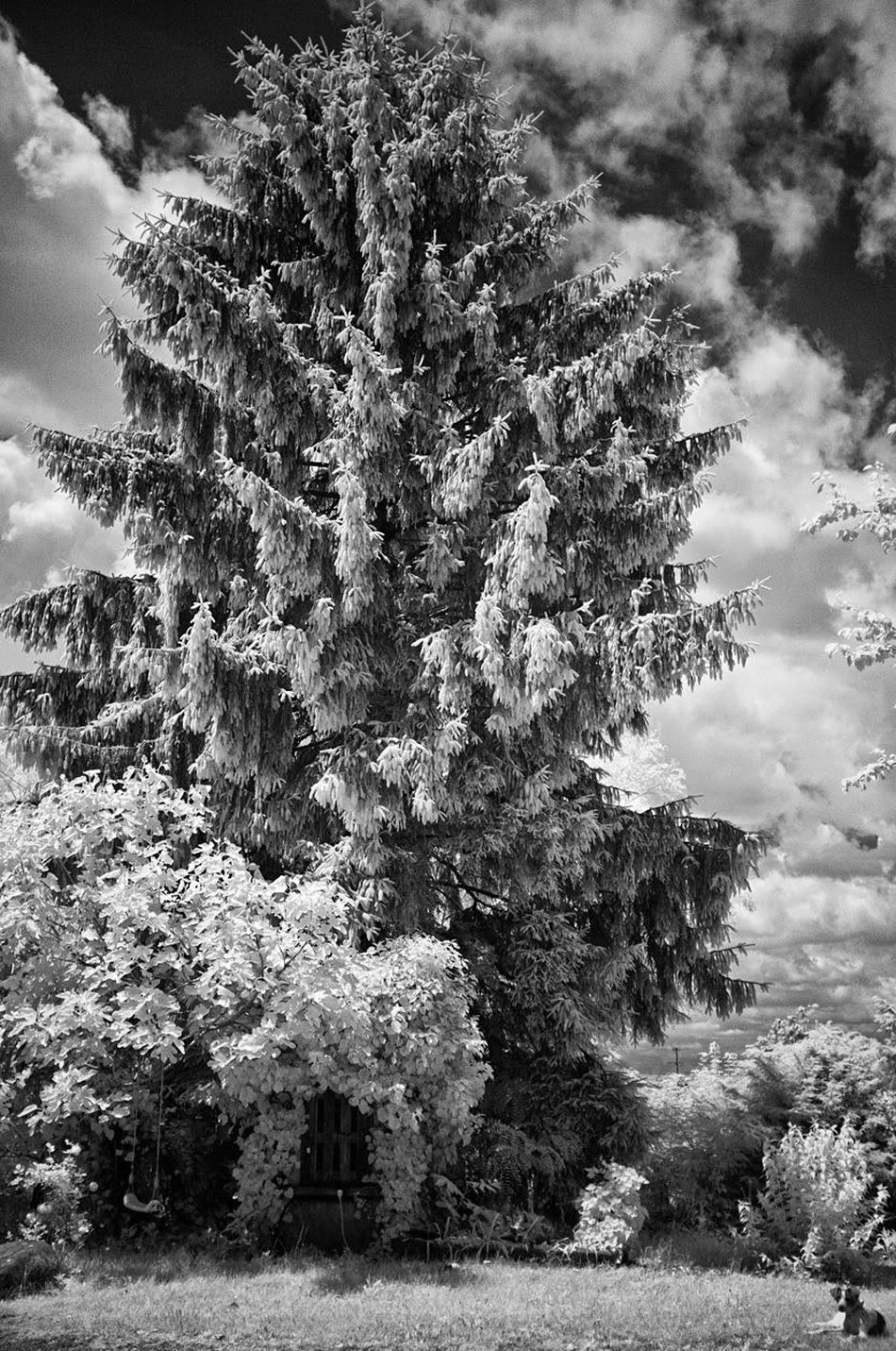 Como Lake Como Dog Infrared Infrared Photography Blackandwhite Black And White Photography Infrared Black And White Tree Tranquility Countryside Italy