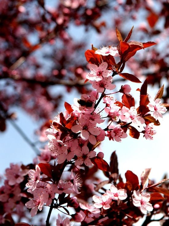 Blossoms of a tree Apple Blossom Beauty In Nature Blossom Botany Branch Cherry Blossom Close-up Flower Flower Head Nature Orchard Pink Color Springtime Tree