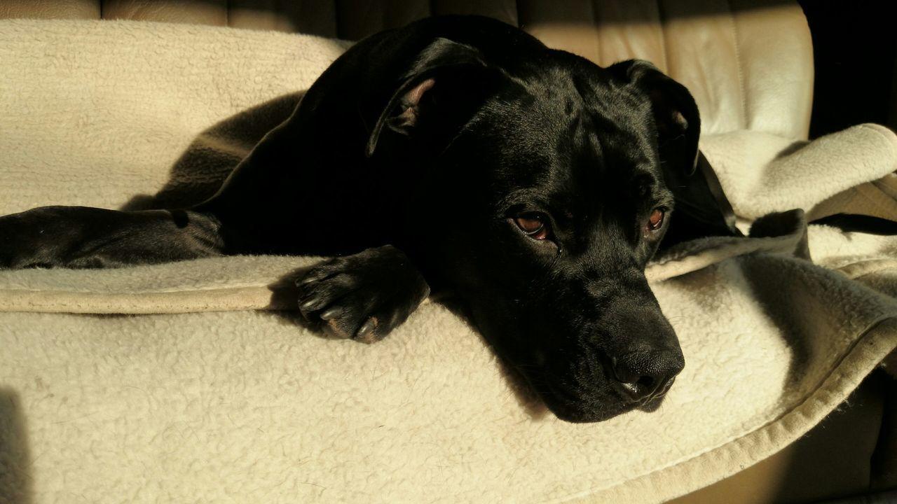 Beautiful stock photos of pitbull, Animal Body Part, Animal Head, Animal Themes, Black Color