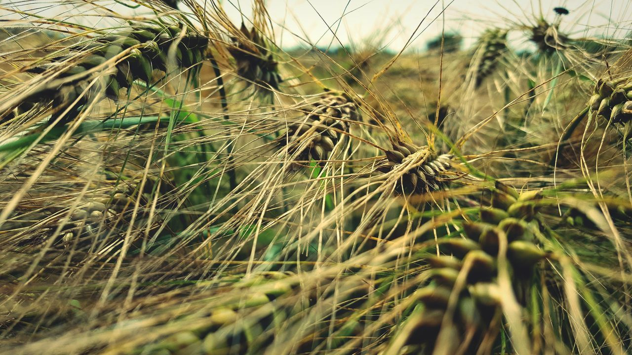 Wheat Wheat Field Plants Grass Grassfield Farm Farm Life Close-up Nature_collection Close Up Against Sky Nature Odenwald  Germany