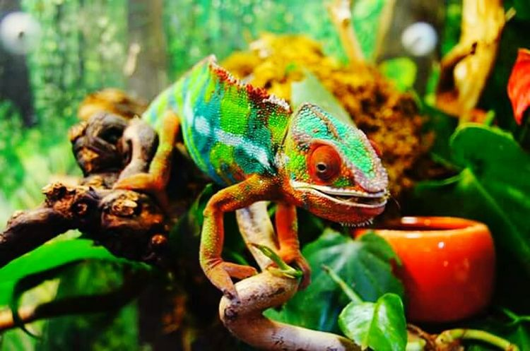 Reptiles Amazonas-Brasil