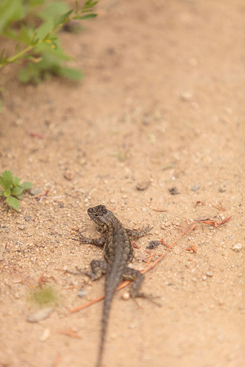 Brown common fence lizard, Sceloporus occidentalis, perches on the edge of a burrow in the sand at a marsh in California. Animal Themes Animal Wildlife Animals In The Wild Brown Day Fence Lizard Nature No People One Animal Outdoors Saurian Sceloporus Occidentalis