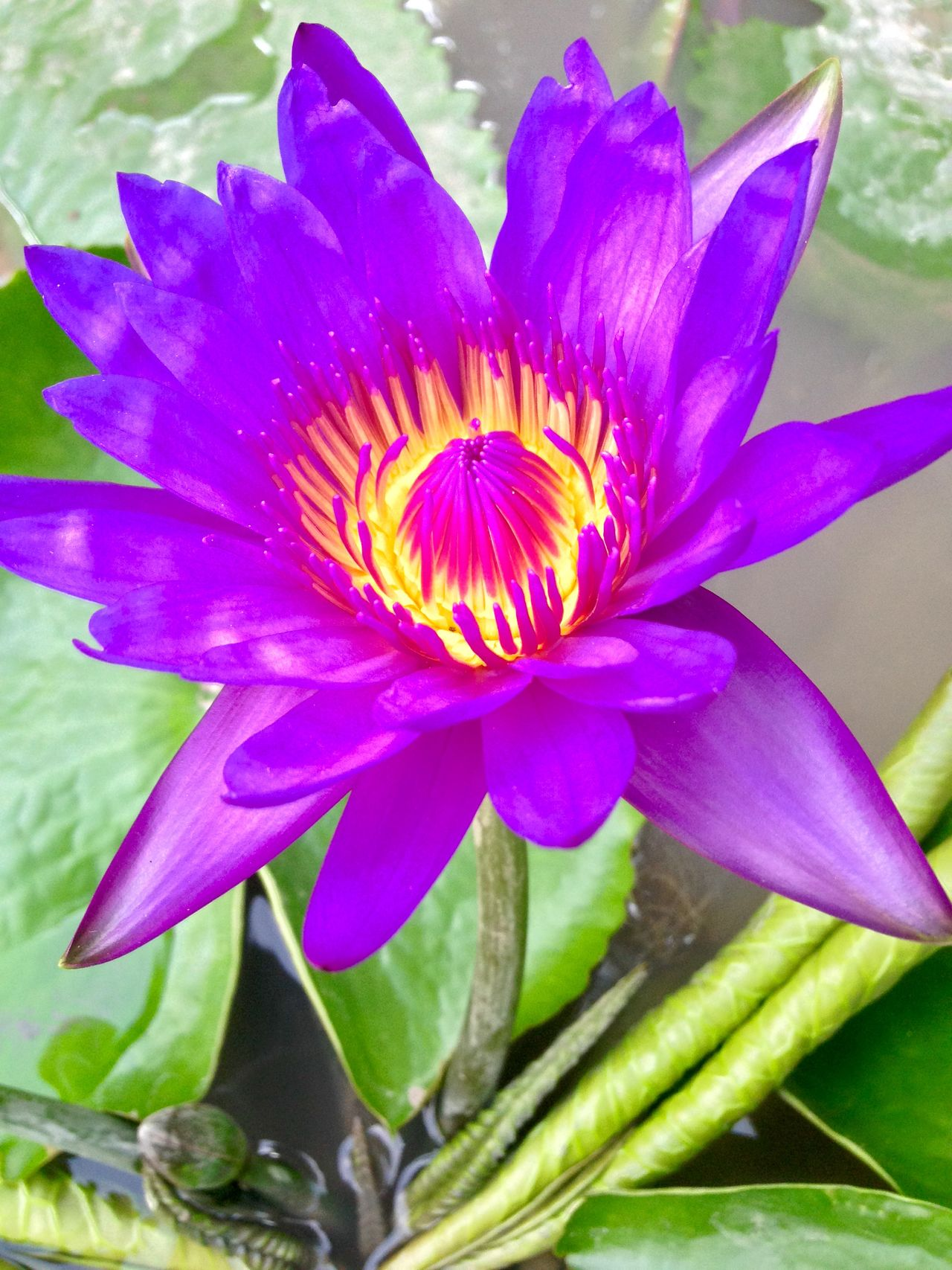 Lotus Traveling Thailand Flowers