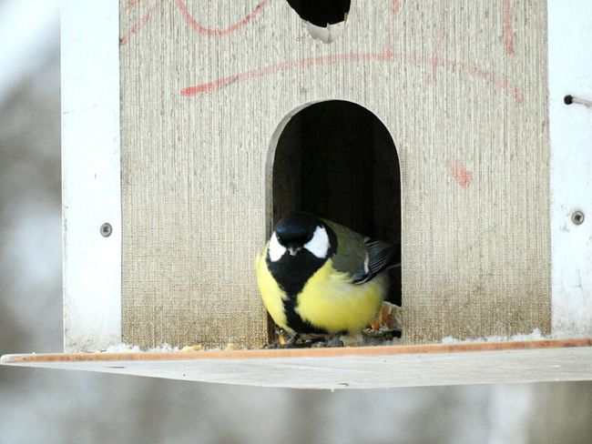 Fat Tit:))) Tomtit Bird Day Animal Wildlife Nature No People Animal Themes One Animal Birdhouse My Year My View Winter Park Colors Of Sankt-Peterburg Sankt-Petersburg Russia Angry Birds