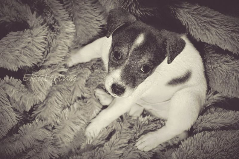 Vintage Jack Russell ArtWork Taking Photos Sweet Baby Dog My World Lovely Awesome Photographer Dog Love Friend Beautiful ♥ Dogy Art Love