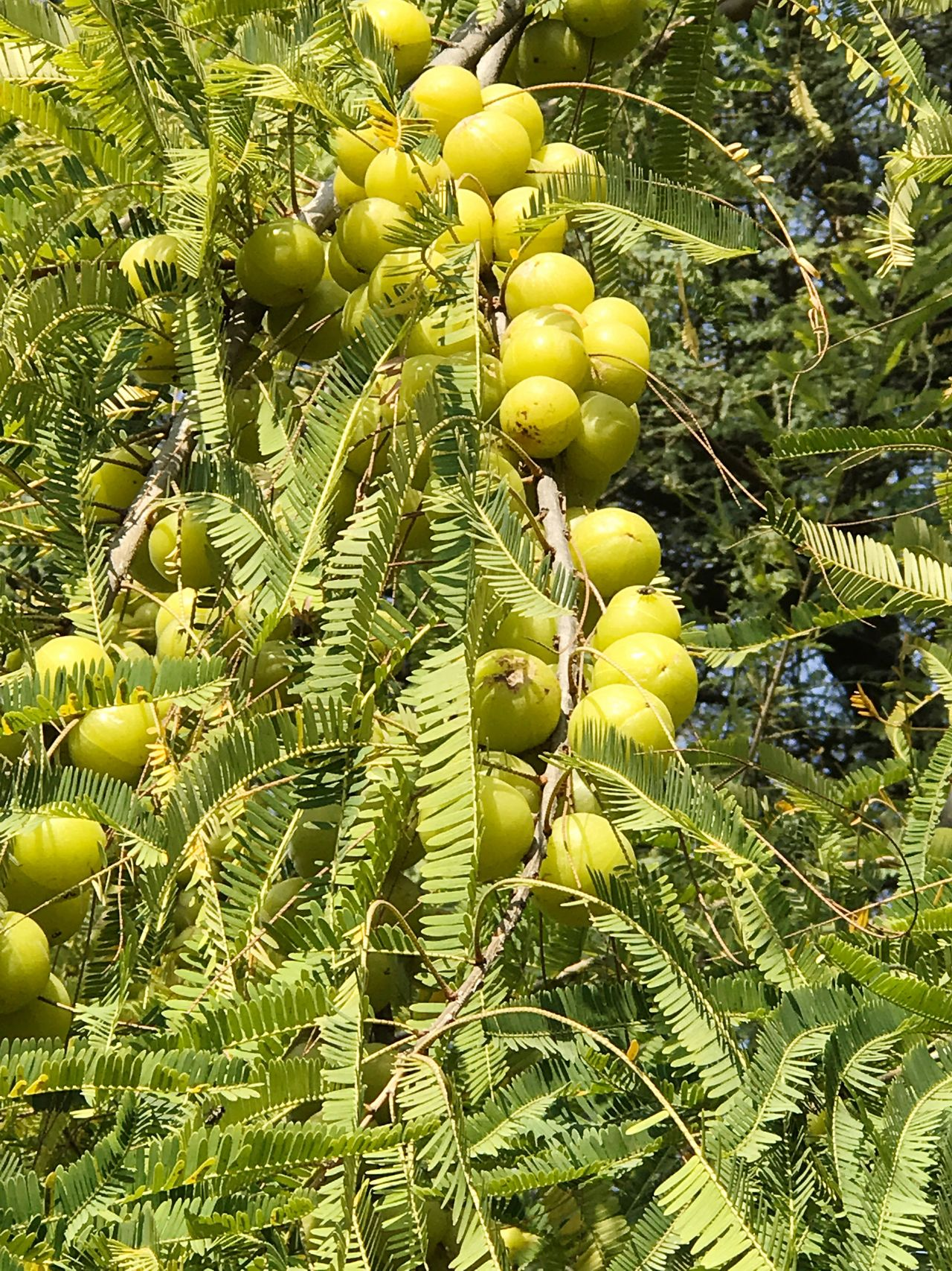 AMLA Indiangooseberry Green Color Nature Agriculture Freshness Healthy Eating Tree Branch Outdoors Close-up Day Beauty In Nature