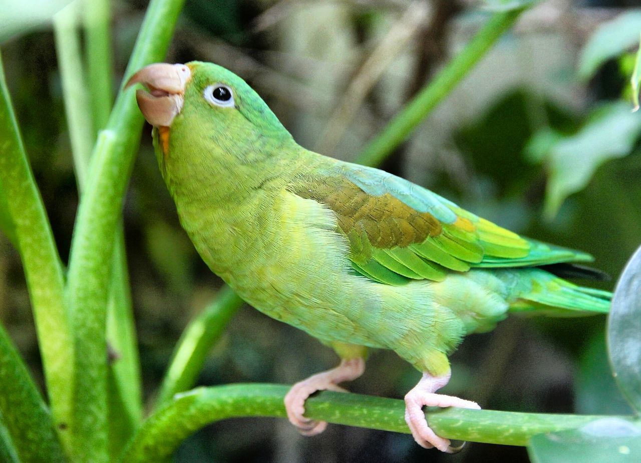 Orange Chinned Parakeet Parakeet Birds EyeEm Birds Nature Wildlife Wildlife & Nature Wildlife Photography Costa Rica