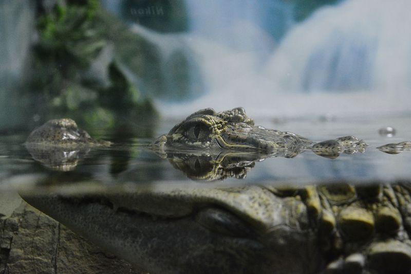 Krokodil Eye Wildlife Wild Nature Green Gray