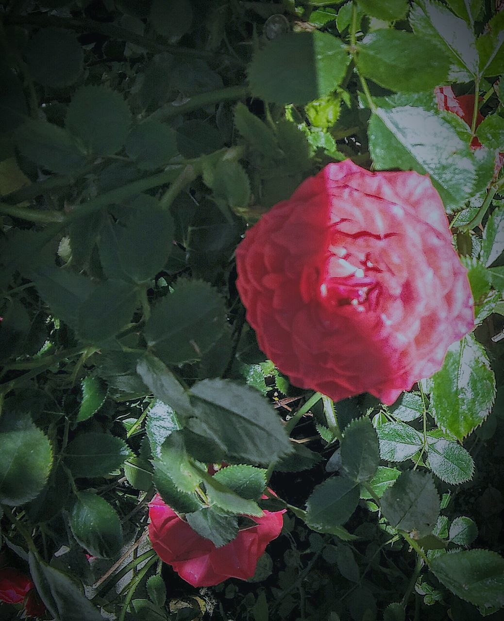 leaf, growth, flower, beauty in nature, nature, petal, plant, red, fragility, freshness, no people, outdoors, pink color, day, rose - flower, flower head, green color, blooming, close-up
