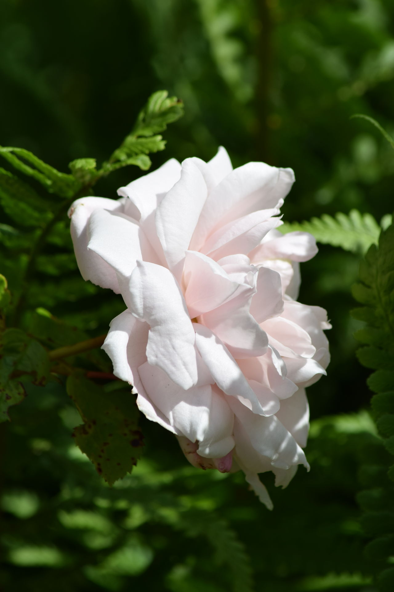 Beauty In Nature Close-up Day Flower Flower Head Fragility Freshness Garden Flowers Greenery Growth Nature No People Outdoors Petal Pink Rose Plant